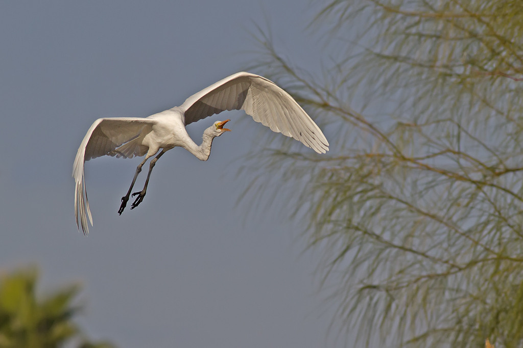 IMAGE: http://icassell.smugmug.com/Other/Herons-and-Egrets/i-qdTrDf5/0/XL/IMG9080-Edit-XL.jpg