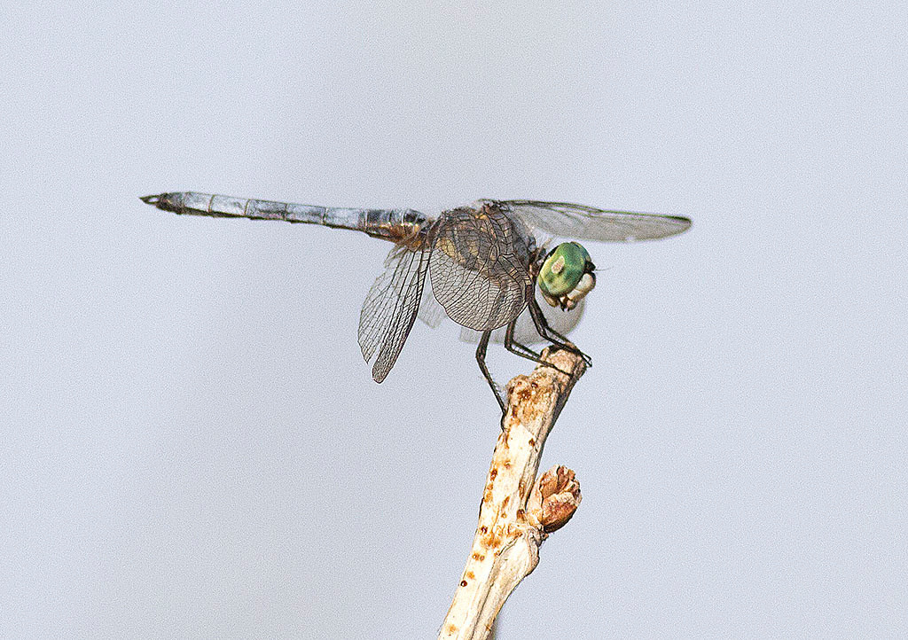 IMAGE: http://icassell.smugmug.com/Other/Insects/i-bF3xVm7/0/XL/IMG9927-XL.jpg